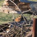 Red Fox (juvenile)