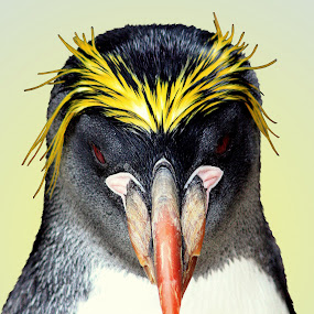 Macaroni Penguin by Ralph Harvey - Animals Birds ( bird, penguin, wildlife, ralph harvey, paignton living coast )