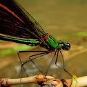 Oriental Green-Wing