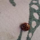 Chinita Arlequín, Harlequin ladybird