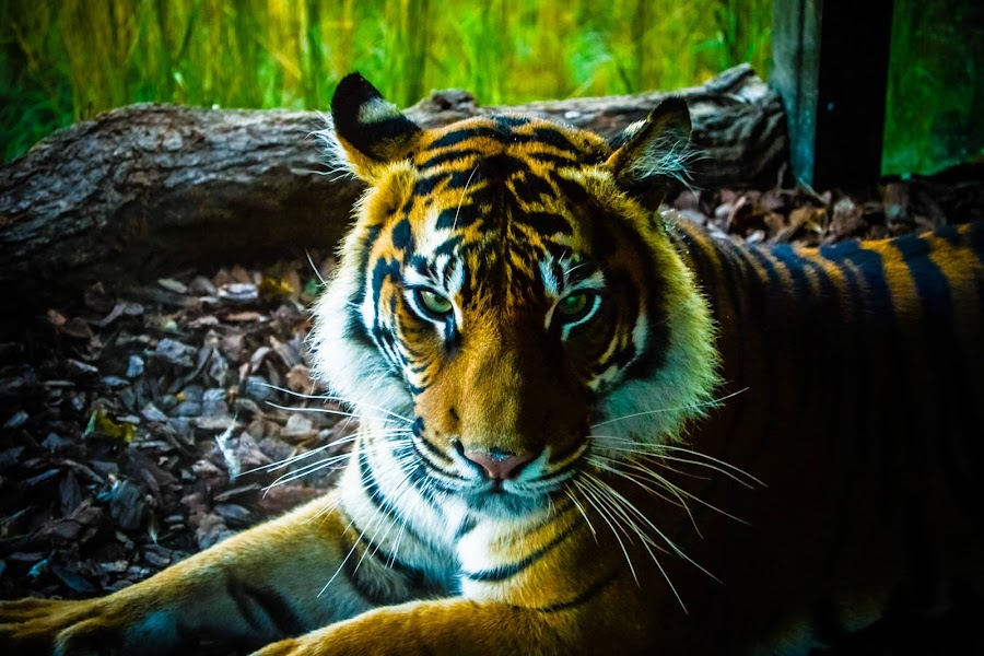 A photo of a Tiger I took when at London Zoo last month by Craig Payne - Animals Lions, Tigers & Big Cats ( portait, solidarity, zoo, tiger,  )