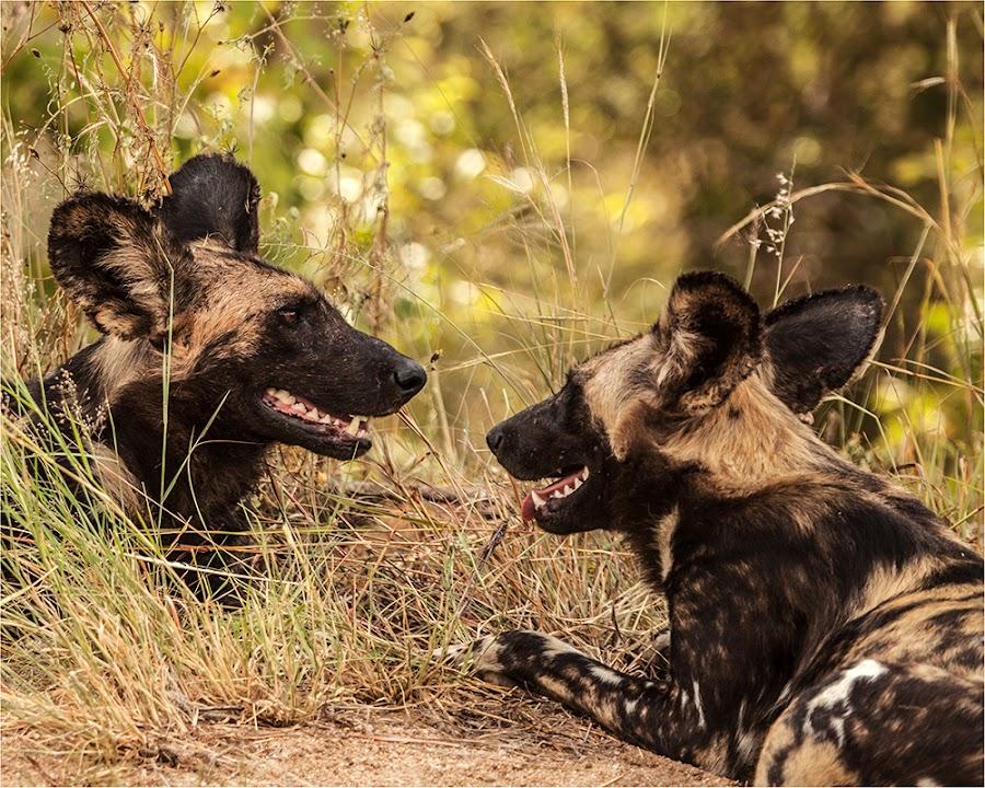 African Wild Dog by Maricha Knight van Heerden - Animals Other Mammals ( wild, wild thing, endangered, wild dog, pack dog, dog )
