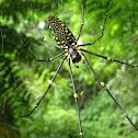 Samurai spider