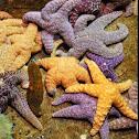 Purple Sea Star
