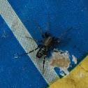 Carpenter Antmimic Spider