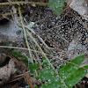 Funnel Web