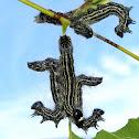 Angus Datana Moth Caterpillars
