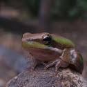 Eastern Dwarf Tree Frog, Eastern Dwarf Sedgefrog