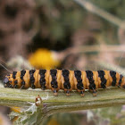 Cinnabar Moth Caterpillar?