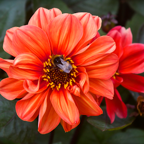Orange Flower with Bee by Venetia Featherstone-Witty - Flowers Single Flower ( orange flower, filter forge, color, single flower, portrait, colors, dark background, landscape, flower with bee, object,  )