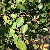 Japanese evergreen spicebush