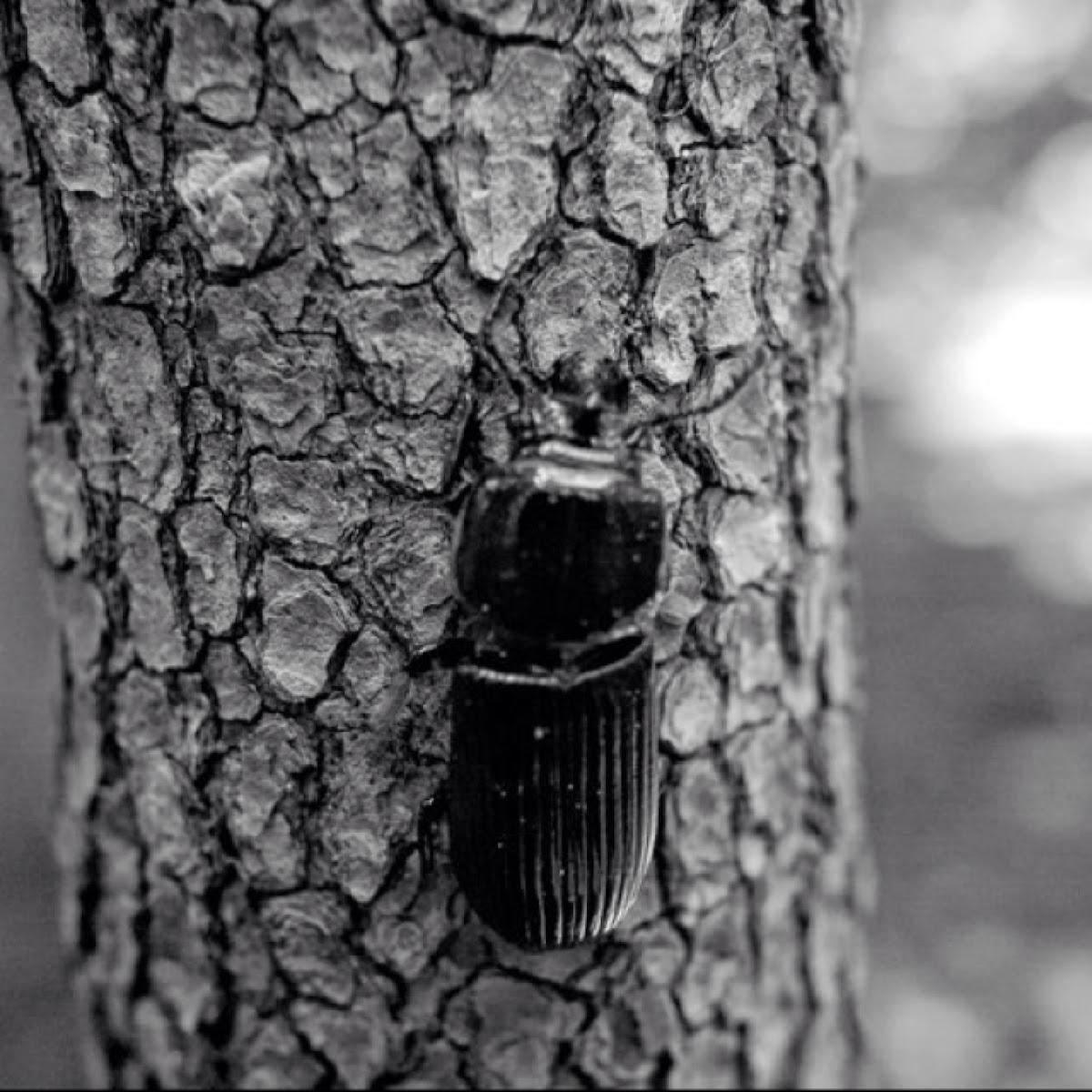 Horned Passalus Beetle; Betsy Beetle