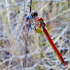 Yellow winged darter Dragonfly