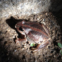 Whistling tree frog/ Verreaux's tree frog