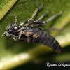 Leafhopper Exuvia