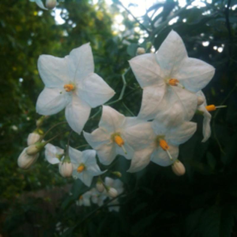 white potato plant