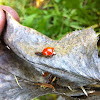Multicolored Asian Lady Beetle (spotless variation)