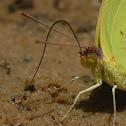 Orange Sulphur Moth