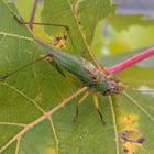 Tree cricket