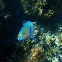 Blue-chin Parrotfish