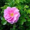 Rose Shrub: Light Pink
