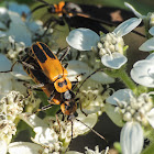 Goldenrod soldier beetles (mating)