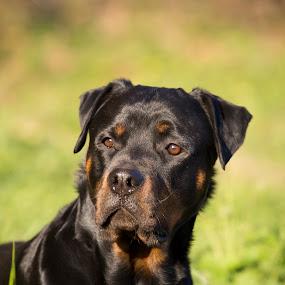 Rottweiler by Manuela Kägi - Animals - Dogs Portraits ( friends, friendly, dog, friend, rottweiler, #GARYFONGPETS, #SHOWUSYOURPETS )