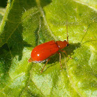Red pumpkin beetle