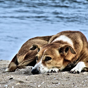 Relaxing  by Shamsad Mhd - Animals - Dogs Portraits ( tired, india, beach, rest, dog,  )