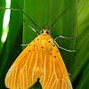Asota egens Moth
