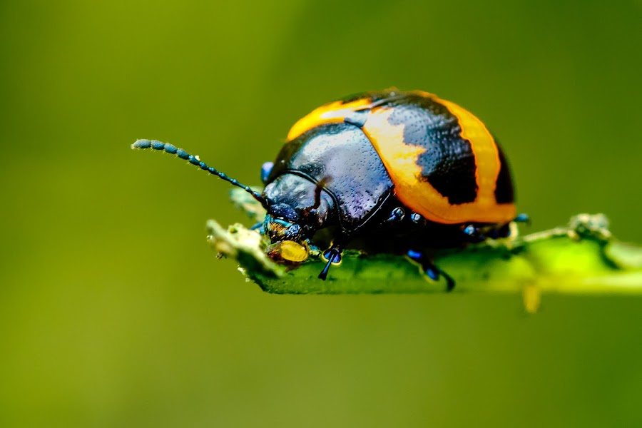 Beetle by Carol Plummer - Animals Insects & Spiders ( swamp milkweed, macro, nature, insect, beetle,  )