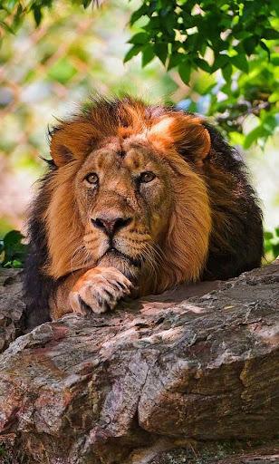 免費個人化App Lion Wild Hunt live wallpaper 阿達玩APP