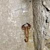 Sicanus scorpion