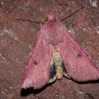 Indian Weed Caterpillar moth