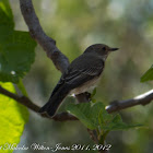 Spotted Flycatcher; Papamoscas Gris