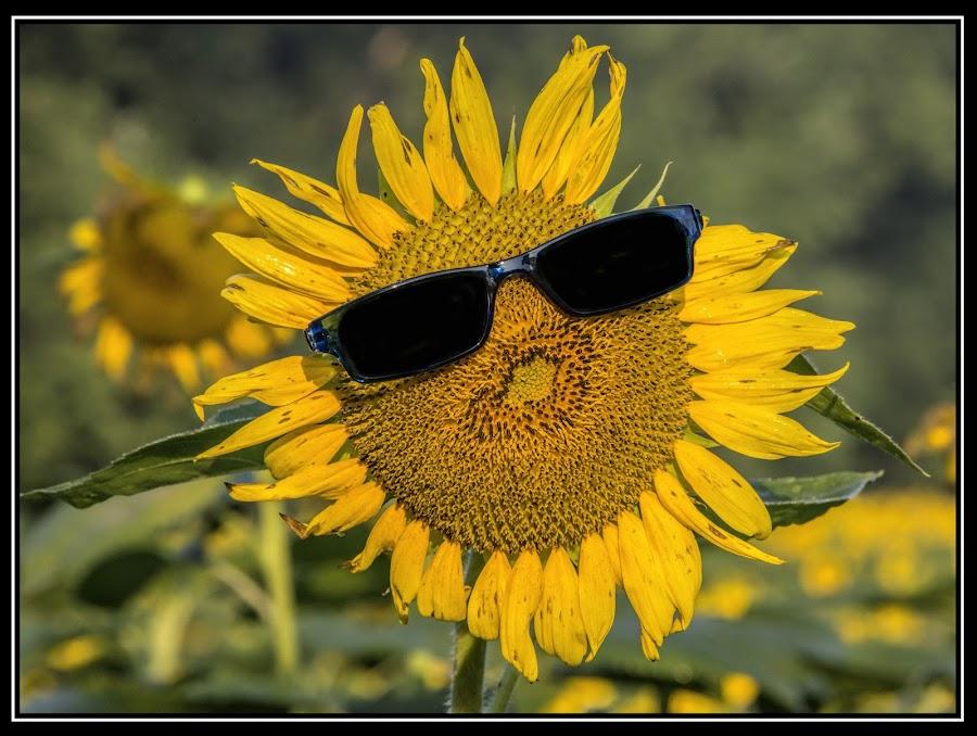 the coolest of all flowers,  the sunflower by Deborah Felmey - Flowers Single Flower ( cool, single, sunflower, flowers, flower,  )