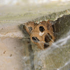 Mud dauber wasp's nest