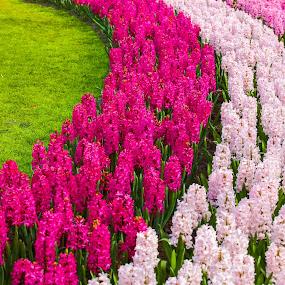 flower garden curves by Marjorie Speiser - Flowers Flower Gardens ( curve, grass, green, pink, flowers )