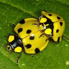 Mating ladybirds