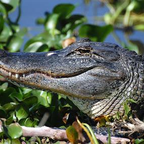 Florida Gator by Bo Chambers - Animals Reptiles ( predator, wild, florida, alligator, wildlife, gator, reptile, teeth, usa )