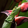 Plumed Basilisk female)