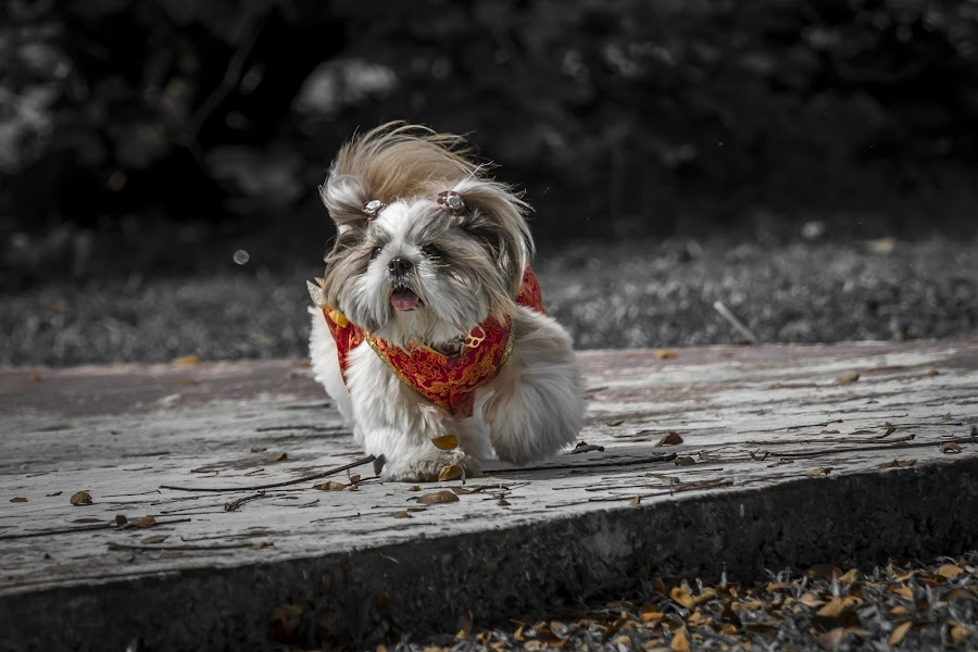 VINNY IN CHINESE TRADISONAL DRESS by Andy Teoh - Animals - Dogs Portraits ( dogs, vinny, portraits, animal, andyteoh photography )