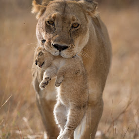 The Last One by Lourens Lee Wildlife Photography - Animals Lions, Tigers & Big Cats ( big five, animals, big cats, lioness, wildlife, big5, africa, predators,  )