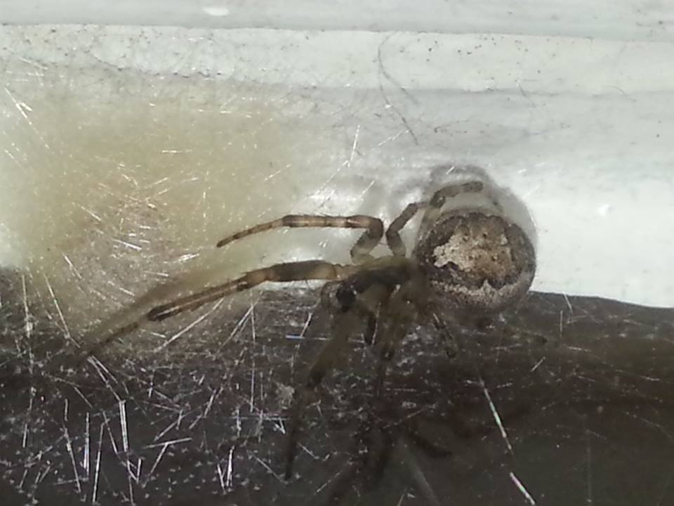 Silver Sided Sector Spider(guarding Egg sac)