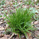 Native woodland grass