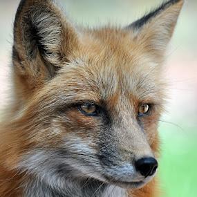 Fox by Dawn Hoehn Hagler - Animals Other Mammals ( fox, zoo, bearizona, arizona, williams,  )