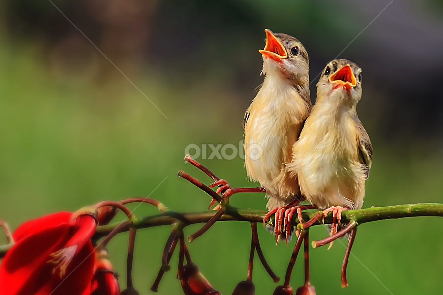 Lovely Singers by Husada Loy - Animals Birds