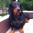 Daschhound