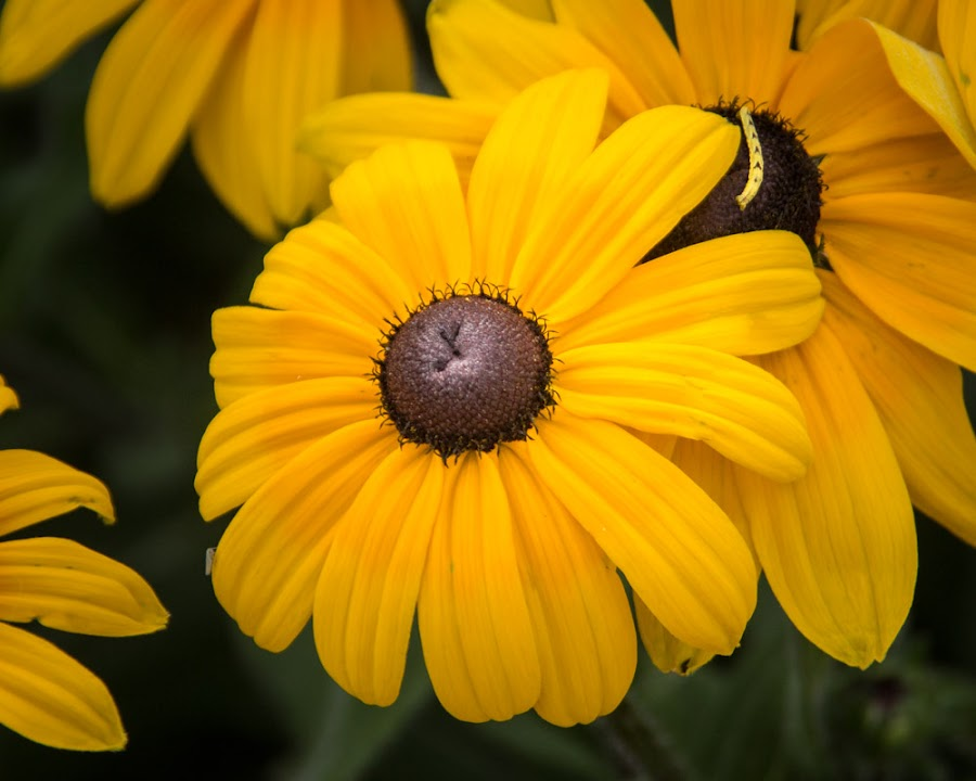 by Shari Brase-Smith - Flowers Single Flower ( nature, petals, fall, soft light, flowers, close up, golden )
