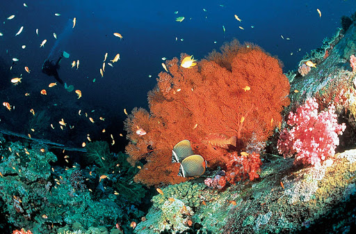 Thailand-diving-4 - A scuba diver finds a coral garden off the coast of Thailand.
